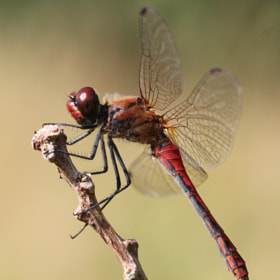 Ruddy Darter Dragonfly by Ger Bosma (GerBosma)) on 500px.com