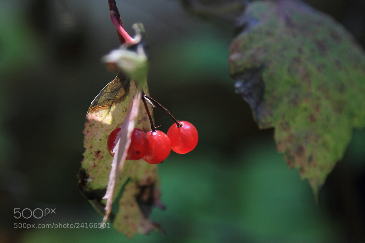 Photograph Wild Berries by Eva Lechner on 500px