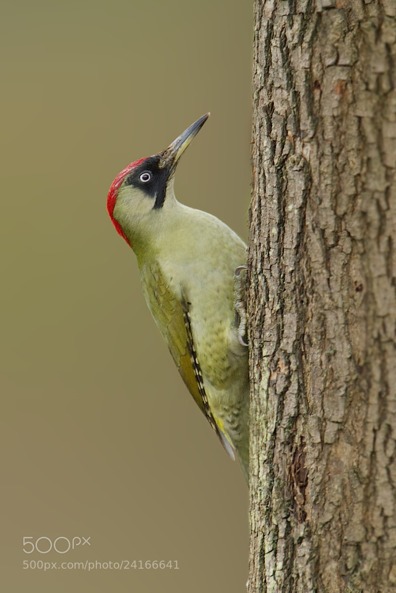 Photograph Green woodpecker by Samuel Aron on 500px