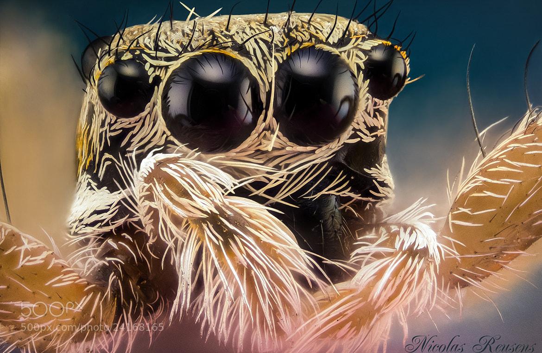 Photograph 10x Salticidae by Nicolas Reusens on 500px