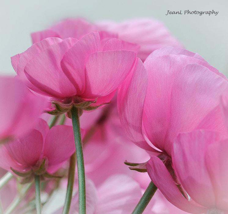 Photograph Pink Flowers by Jean Li on 500px