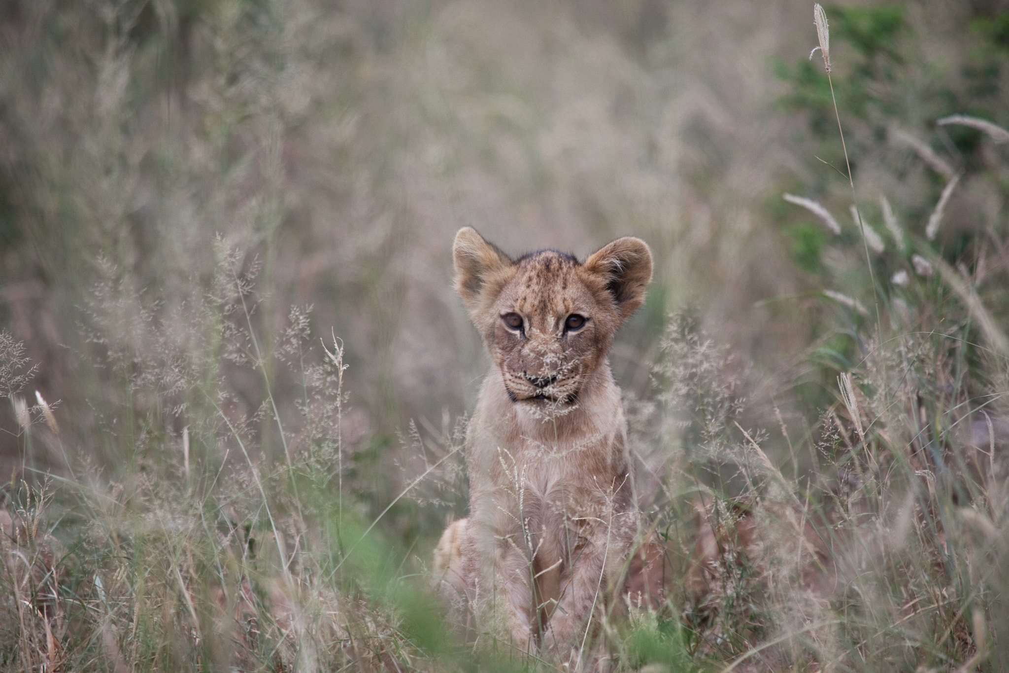 Photograph Young Cub  by 5200 Kelvin on 500px