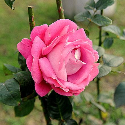 rose.., Nikon D3, AF Zoom-Nikkor 24-85mm f/2.8-4D IF