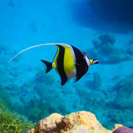 Moorish Idol - GBR, Canon POWERSHOT SD890 IS