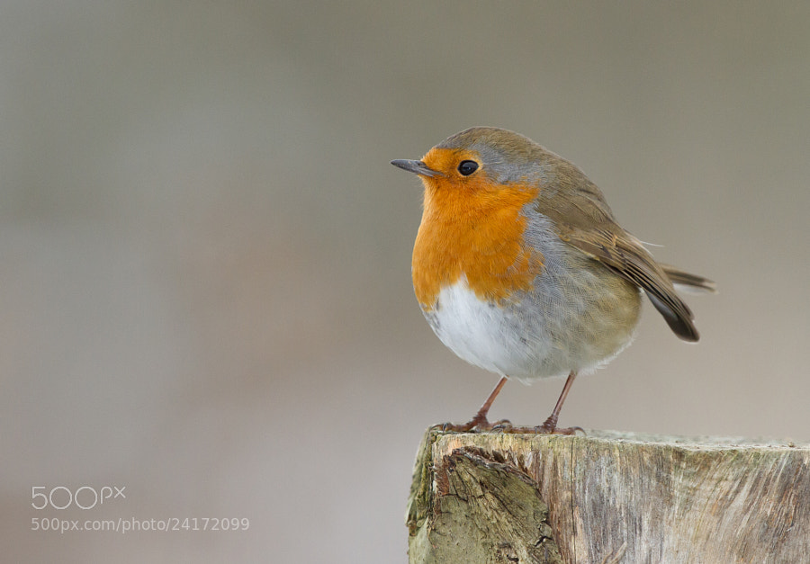 Photograph Robin by Ian Billenness on 500px
