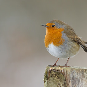 Robin by Ian Billenness (ianbillenness)) on 500px.com