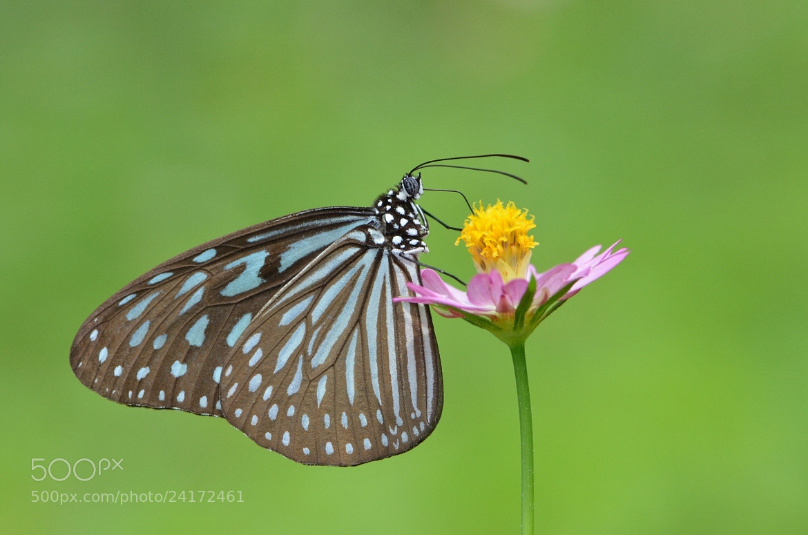 Photograph Blue Glassy Tiger Macro by Terence Kok on 500px