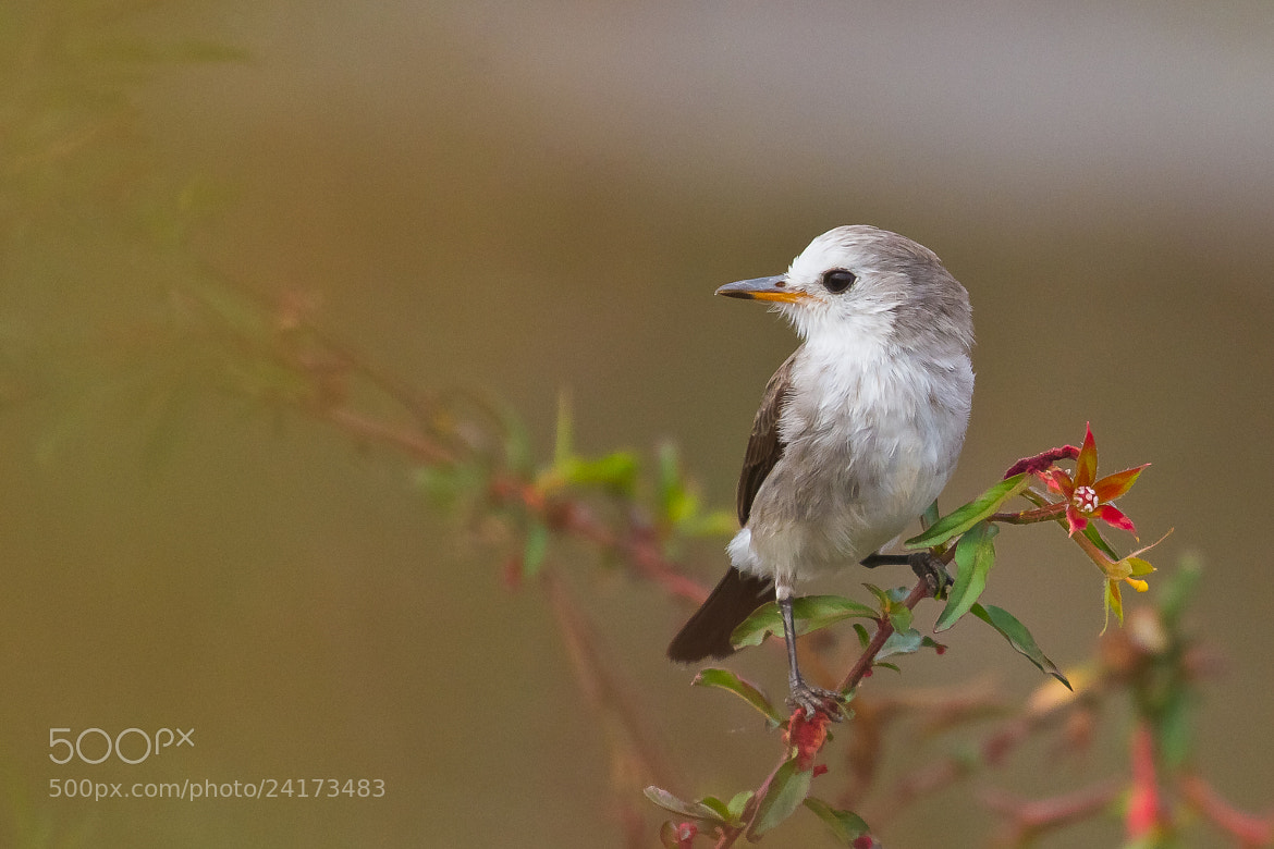 Photograph White-headed Marsh-Tyrant (Arundinicola leucocephala) Female by Bertrando Campos on 500px