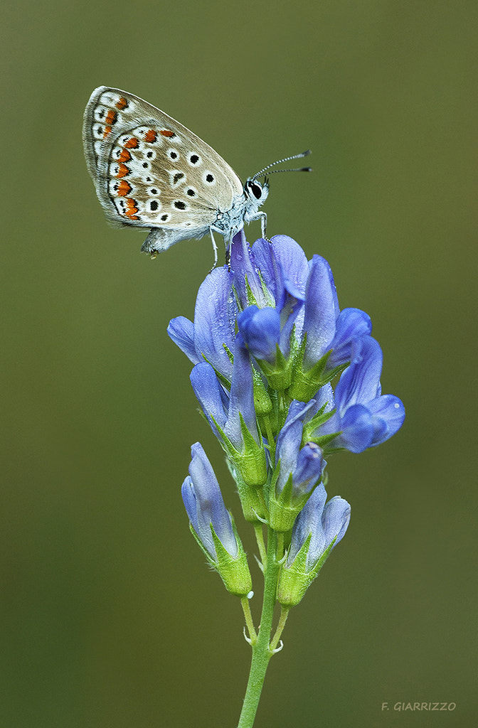 Photograph Common blue by Fabio Giarrizzo on 500px