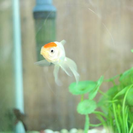 金魚(Goldfish), Canon EOS KISS X7, Canon EF-S 24mm f/2.8 STM