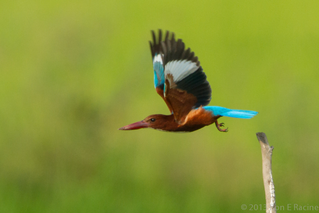 Photograph White-Throated Kingfisher by Ron E Racine on 500px