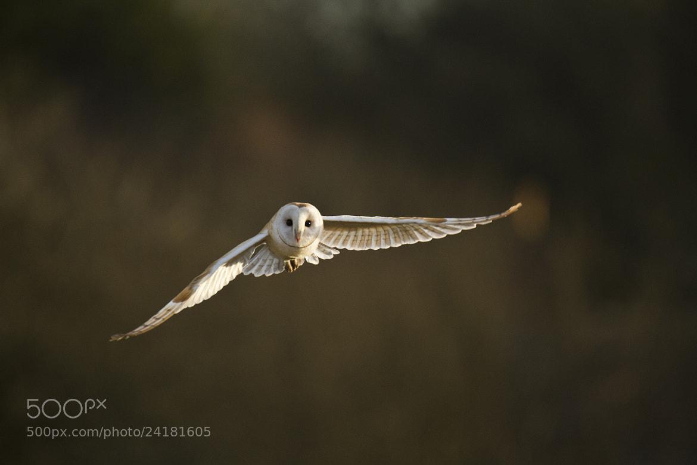 Photograph Dorset Barn Owl  by Sam  Stewart on 500px