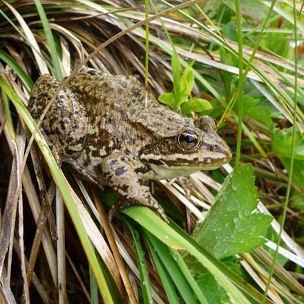 Wary frog, Panasonic DMC-TS3