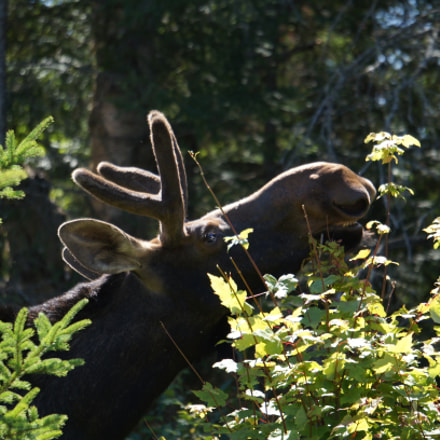 Moose, Sony NEX-C3, Sony FE 24-240mm F3.5-6.3 OSS
