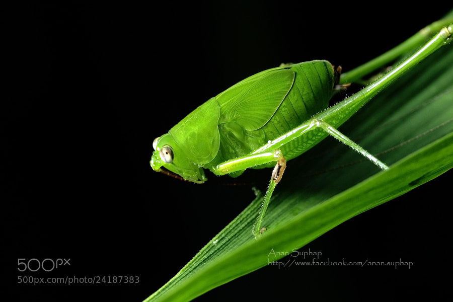 Photograph Grasshopper by Anan Suphap on 500px