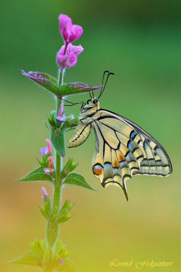 Photograph Etude With Swallowtail (2) by Leonid Fedyantsev on 500px