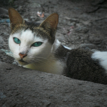 Blue-Eyed Cat, Fujifilm FinePix Z90
