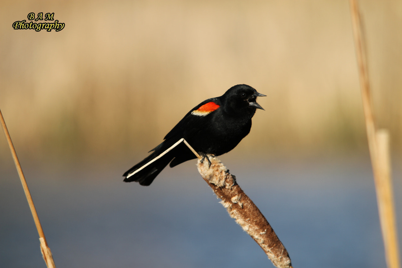 Photograph Red-wing Black Bird by Brooke M on 500px