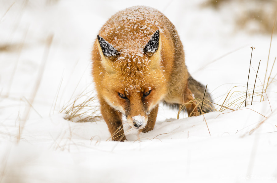 Photograph Red fox (Vulpes vulpes) by Richard Guijt on 500px