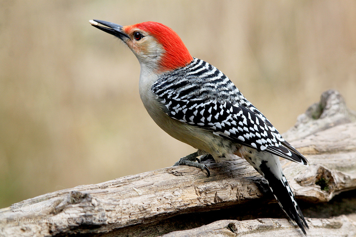 Photograph Red bellied Woodpecker 3 by Brian Masters on 500px