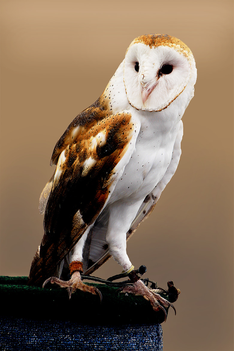 Photograph Barn Owl by Brian Masters on 500px