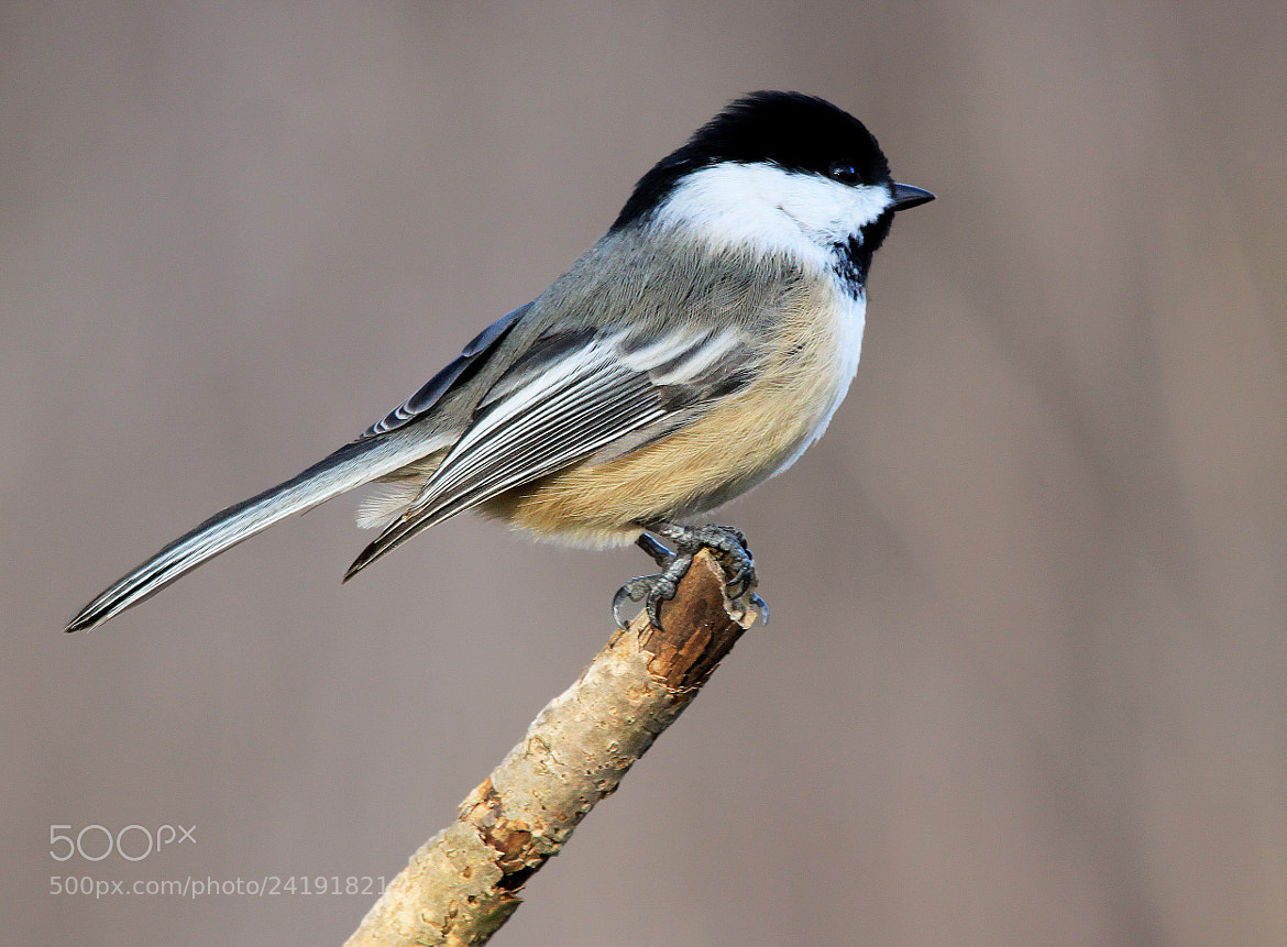 Photograph Chickadee 3 by Brian Masters on 500px