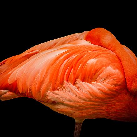 Sleeping Flamingo, Canon EOS D60