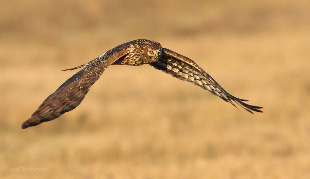 Photograph Circus cyaneus - northern harrier by Walter Oberhofer on 500px