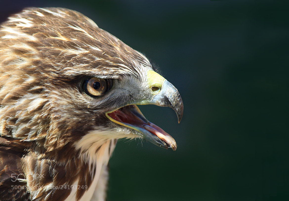Photograph Head of hawk by Brian Masters on 500px