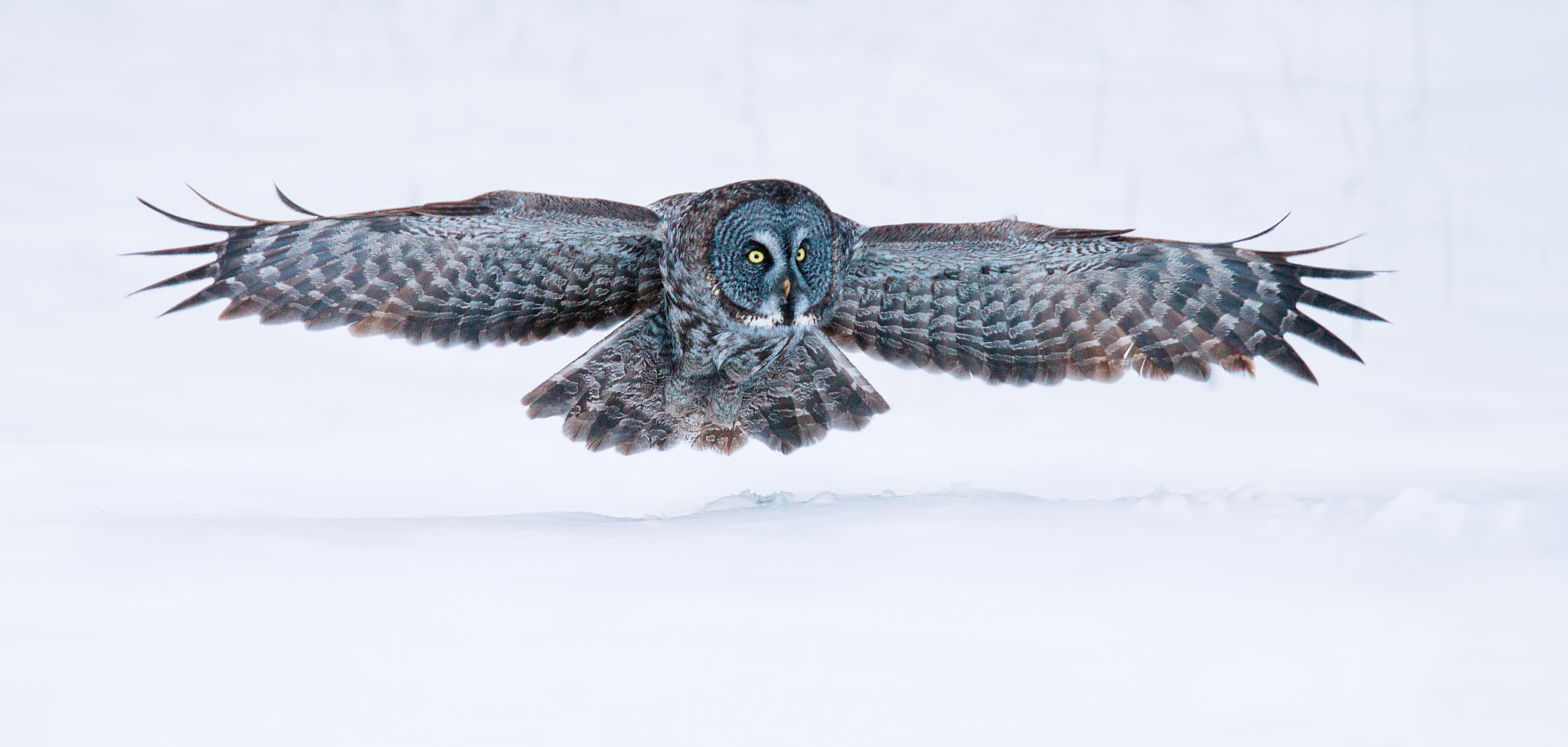 Photograph Silent Hunter - Great Grey Owl by Jim Cumming on 500px