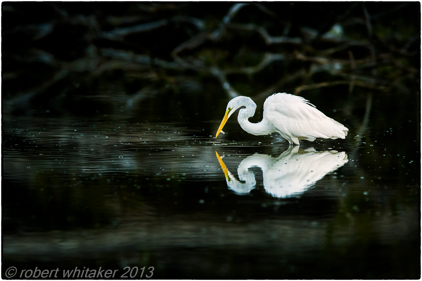 Photograph Great Egrets by Robert Whitaker on 500px