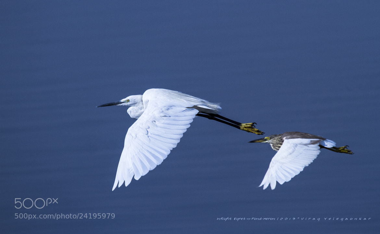 Photograph Egret n Pond Heron by Virag Yelegaonkar on 500px