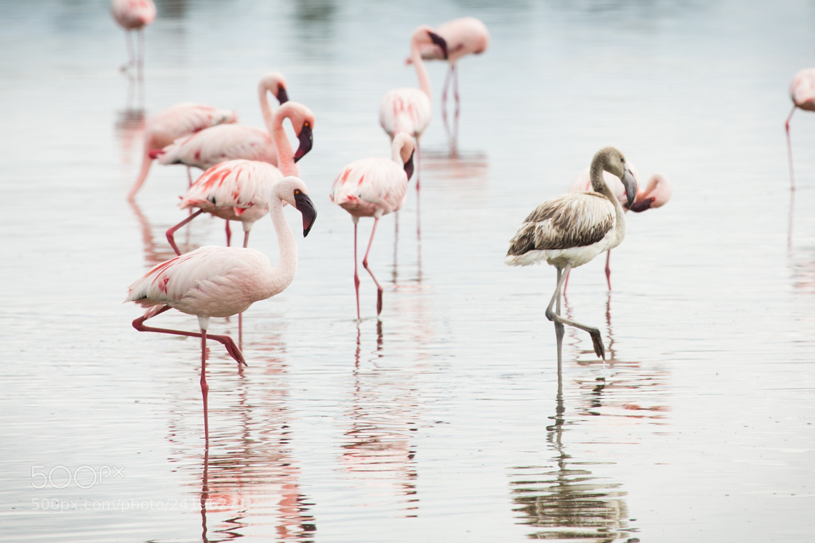 Photograph Flamand rose by Tortosa Rémy on 500px