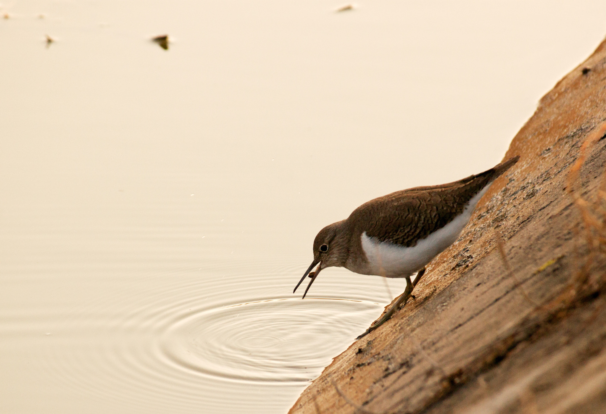 Photograph Common sandpiper. by Darshan Kansara on 500px