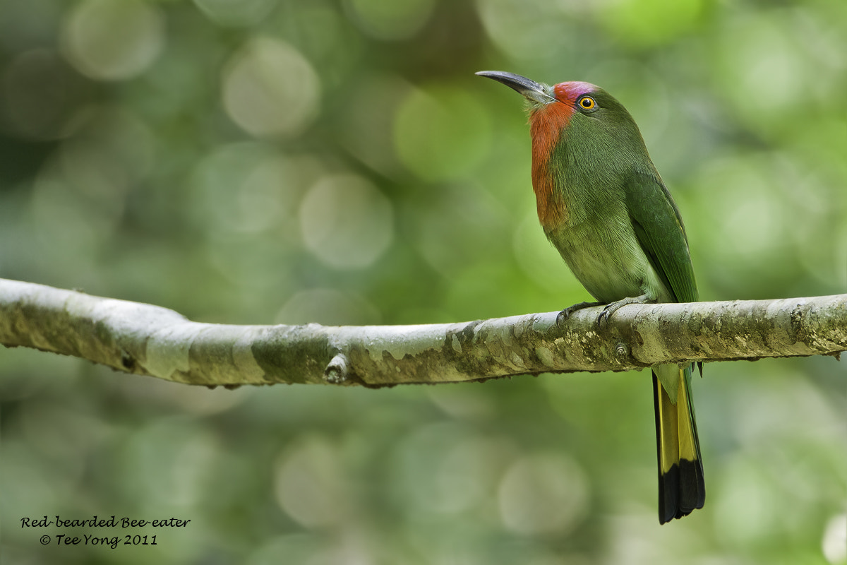 Photograph Red-bearded Bee-eater by TeeYong on 500px