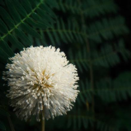 Leucocephala's Flower, Fujifilm FinePix Z90