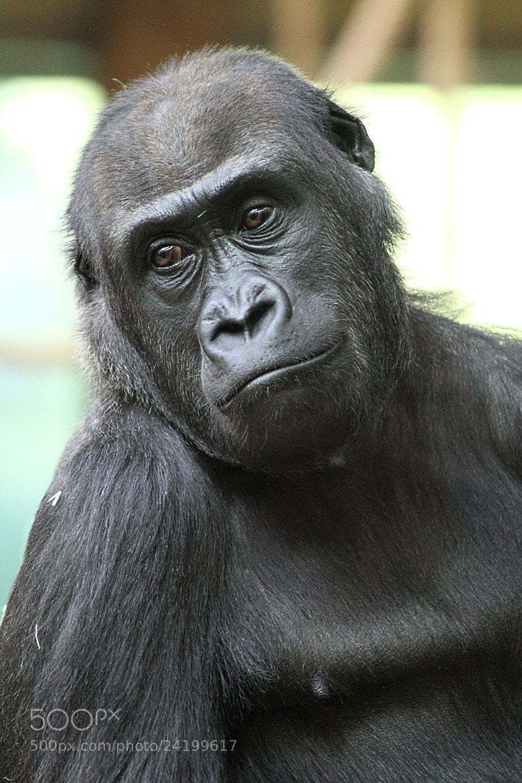 Photograph Gorilla by Matthias Photography on 500px