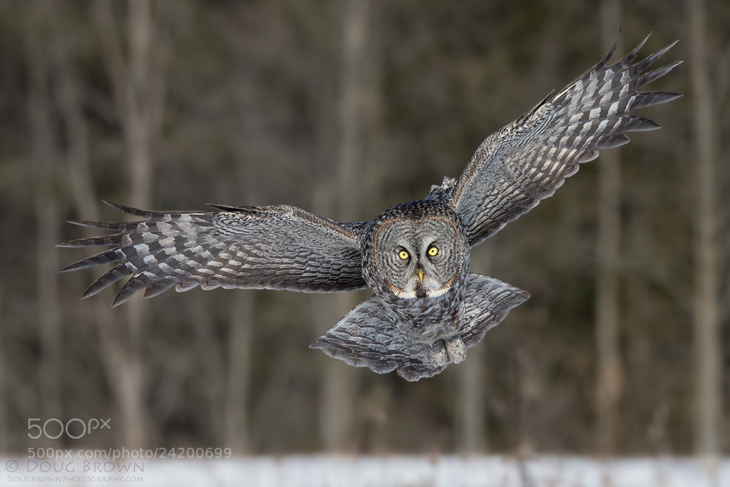 Photograph Great Gray Owl by Doug Brown on 500px