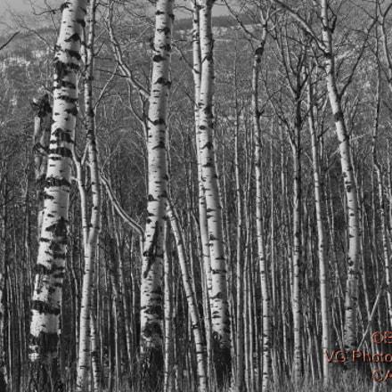 Populus tremuloides, Pentax K-5 II S, smc PENTAX-DA 18-250mm F3.5-6.3 ED AL [IF]