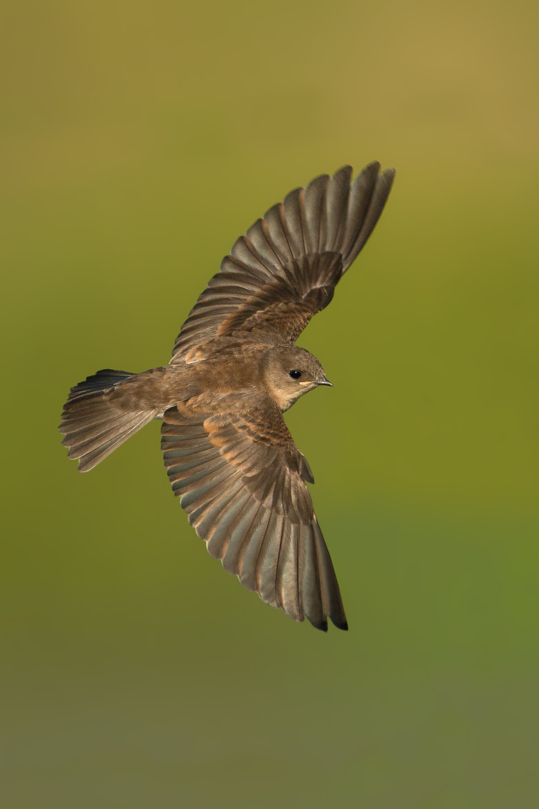 Photograph Northern rough - winged Swallow ( juvenile ) by Jerry Peltier on 500px