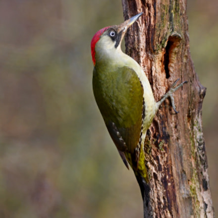 Green Woodpecker, Nikon D500
