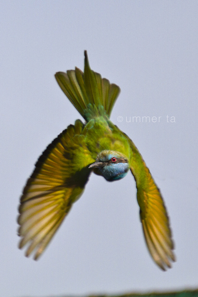 Photograph bird fly by Artist Ummer Ta  on 500px