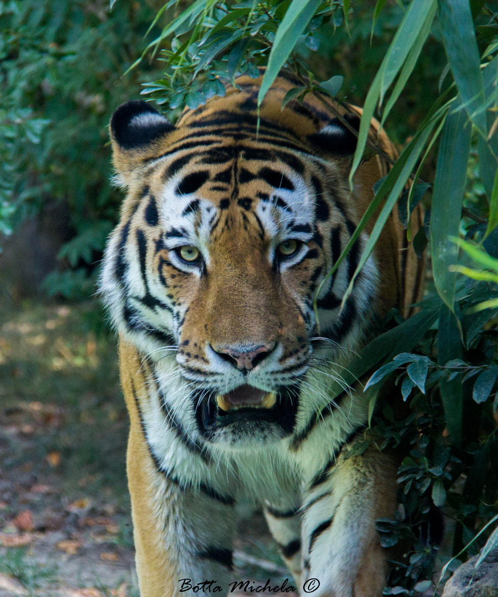 Photograph Tiger  by Michela Botta on 500px