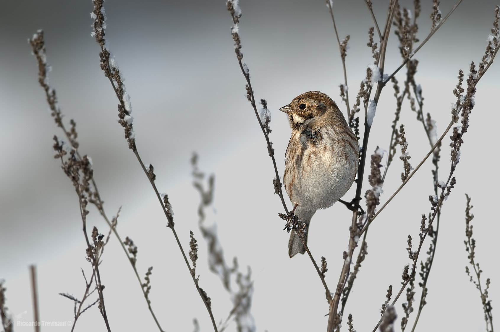 Photograph Reed Bunting by Riccardo Trevisani on 500px