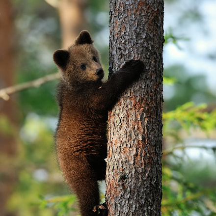 Brown bear cub hugging, Nikon D700, AF-S Nikkor 300mm f/2.8D IF-ED II