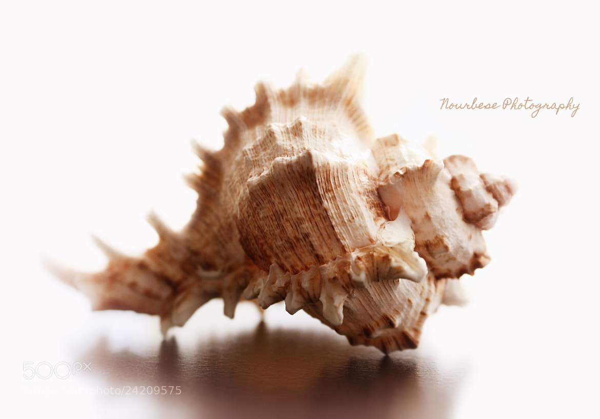 Photograph Seashell (Conch) by Marisa Nourbese on 500px