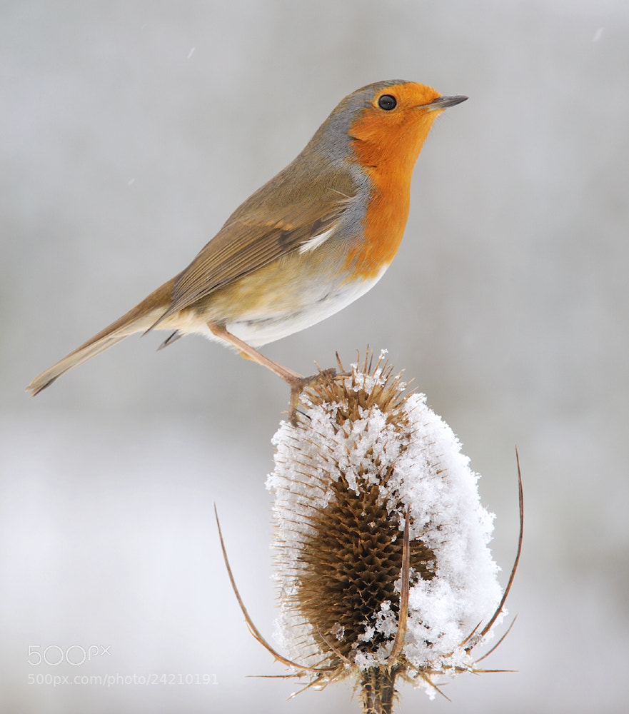 Photograph Robin ( Erithacus rubecula ) by Kevin  Keatley on 500px