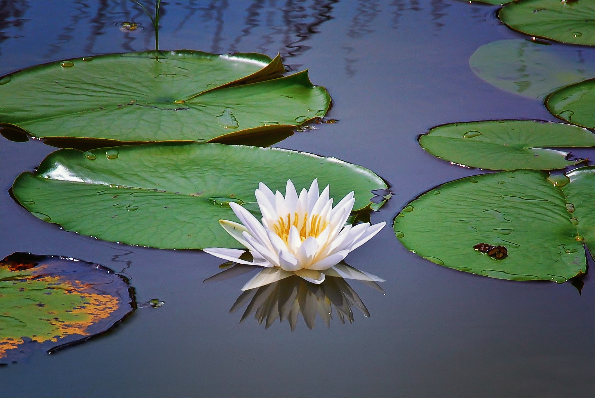Photograph White Lotus by George Bloise on 500px