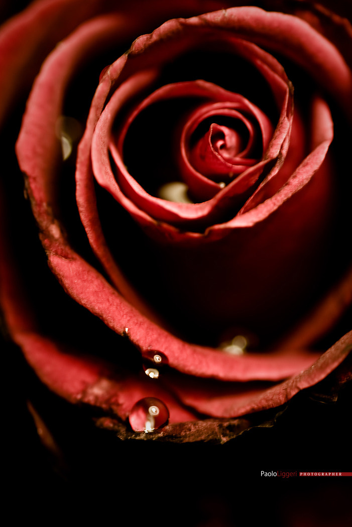 Photograph Red Rose for passion by PAOLO LIGGERI on 500px