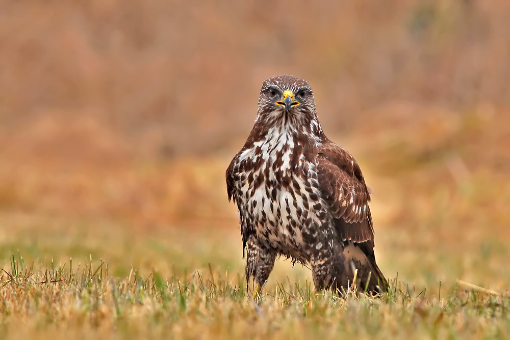 Photograph Buteo buteo by Horváth  Tibor on 500px